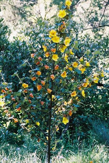 Fremontodendron californicum 4.jpg