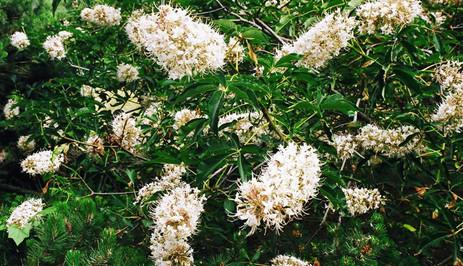 Aesculus californica 4.jpg