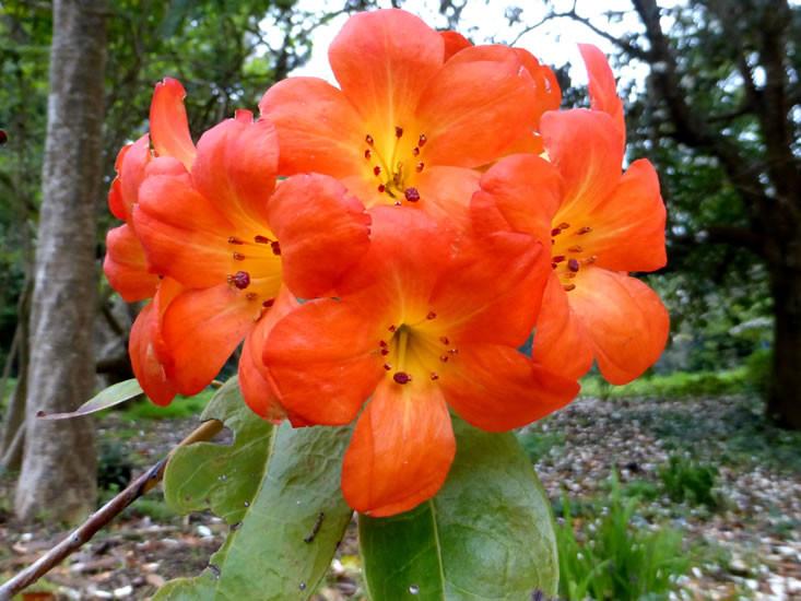 Vireya Rhododendrons 3.jpg