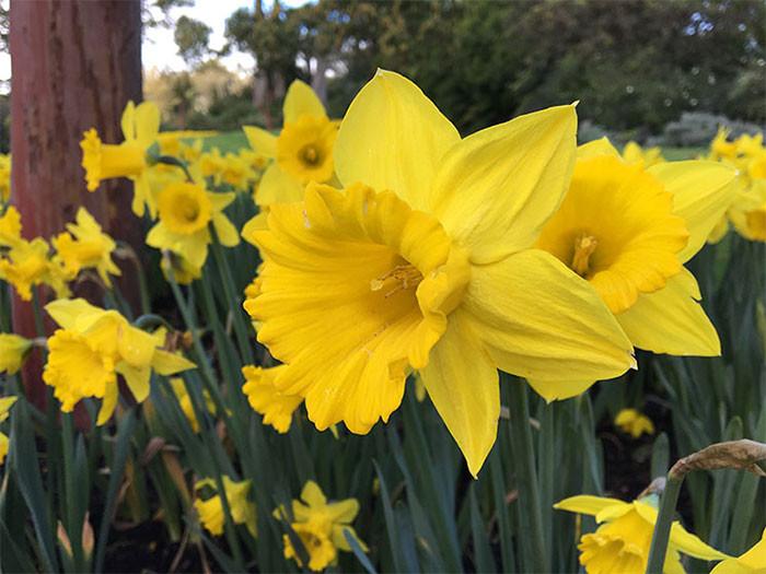 Narcissus spp. 1.jpg