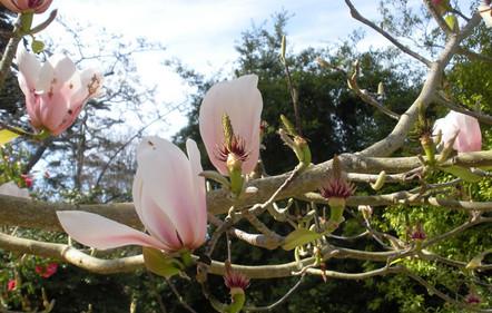 Magnolia x veitchii 2.jpg