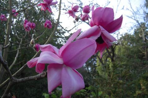 Magnolia campbellii 'Darjeeling' 3.jpg