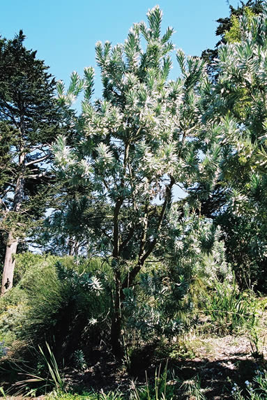 Leucadendron argenteum 4.jpg