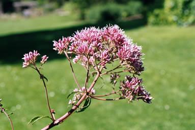 Eupatorium purpureum 1.jpg