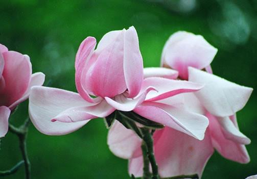 Magnolia campbellii 1.jpg
