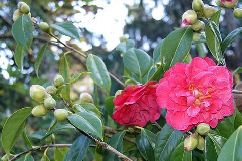 Camellia spp. 1.jpg