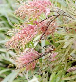 Grevillea spp. 2.jpg