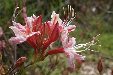 Rhododendron occidentale 1.jpg