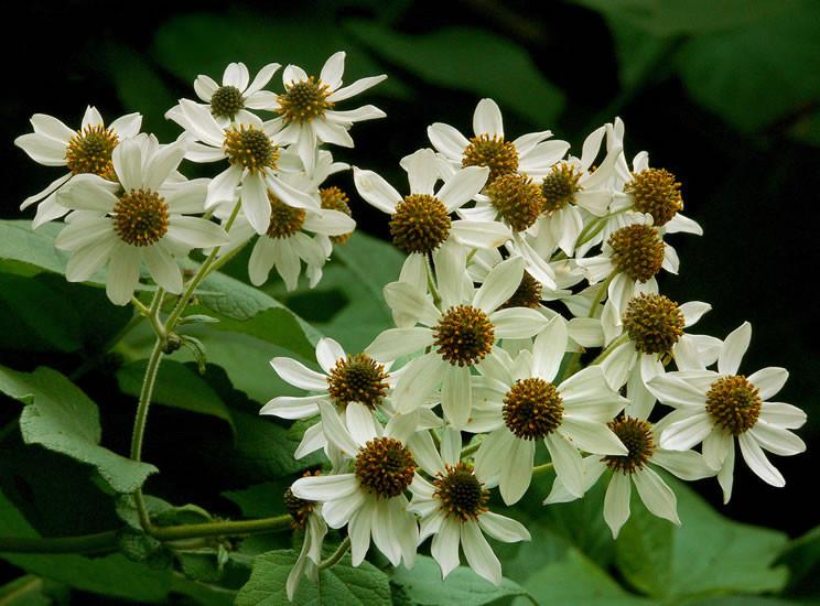 Montanoa spp. 2.jpg