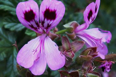 Pelargonium 2.jpg