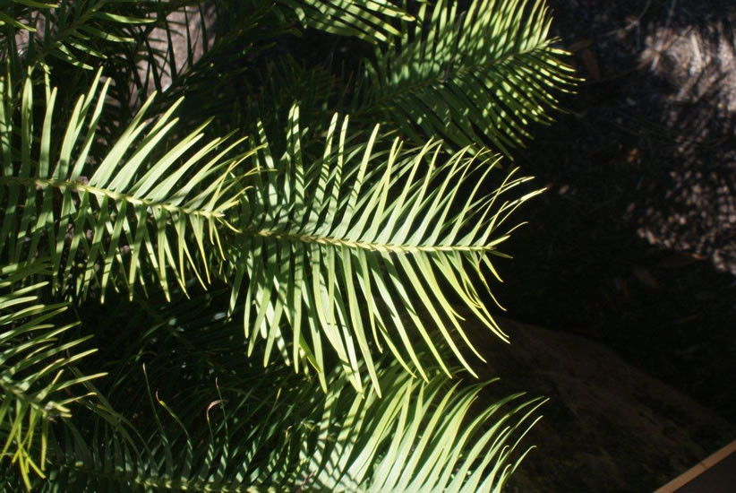 Wollemia nobilis 3.jpg