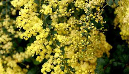 Acacia pravissima 2.jpg