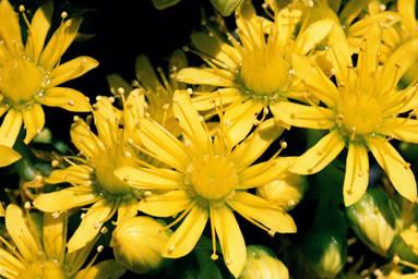 Aeonium arboreum 1.jpg