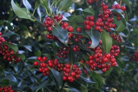 Ilex aquifolium 4.jpg