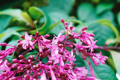 Fuchsia paniculata 1.jpg