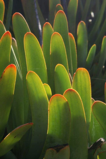Aloe plicatilis 3.jpg