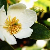 Magnolia laevifolia'Strybing Compact'