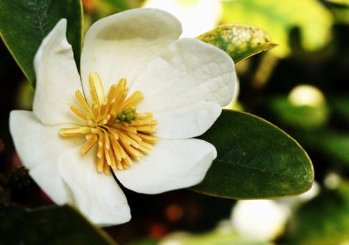 Magnolia_laevifolia'Strybing_Compact'_1