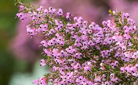 Erica spp. 3.jpg