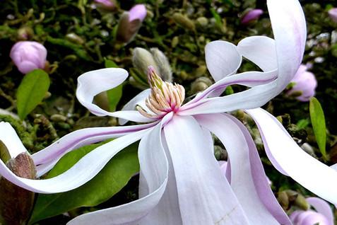 Magnolia stellata 3.jpg