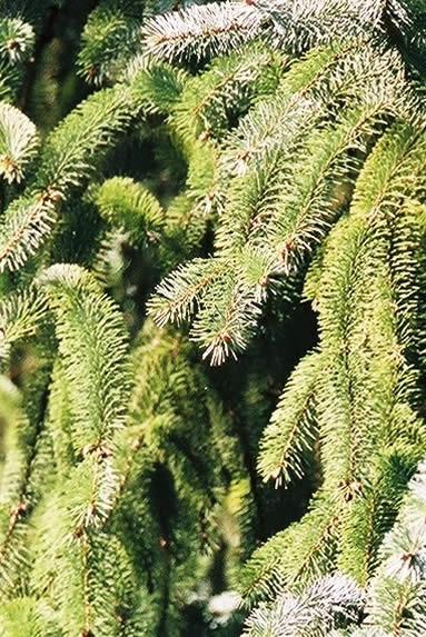 Picea sitchensis 2.jpg