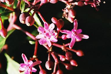 Fuchsia paniculata 2.jpg