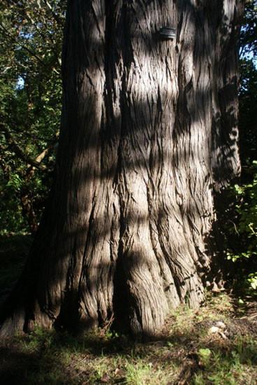Cupressus macrocarpa 2.jpg