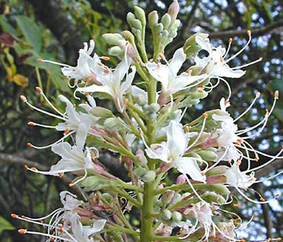 Aesculus californica 2.jpg