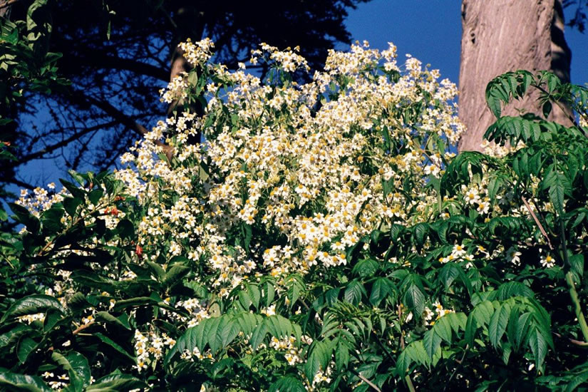 Montanoa spp. 4.jpg