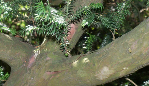 Taxus baccata 1.jpg