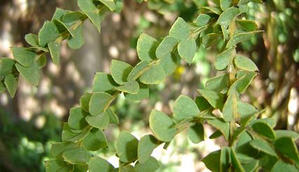 Acacia pravissima 4.jpg
