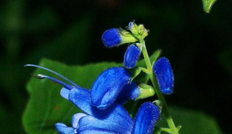 Salvia cacaliifolia 2.jpg