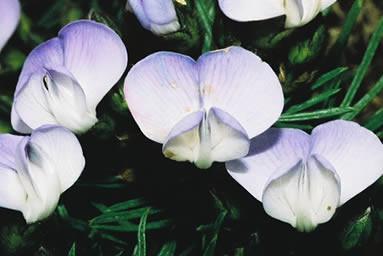 Psoralea Pinnata 4.jpg