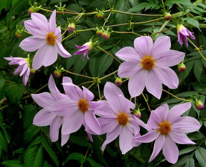 Dahlia spp. 3.jpg