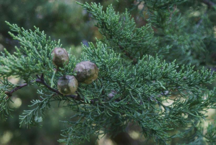 Cupressus macrocarpa 3.jpg