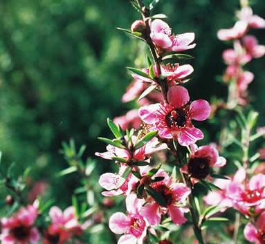 Leptospermum 3.jpg