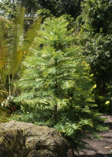 Wollemia nobilis 4.jpg