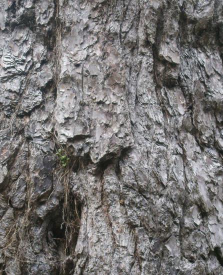 Pinus radiata 2.jpg