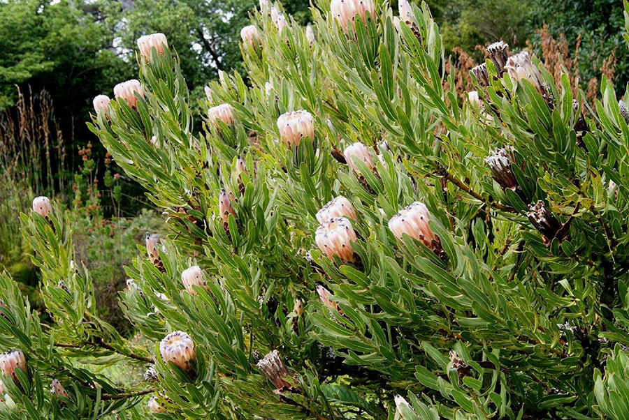 Protea lepidocarpodendron 4.jpg