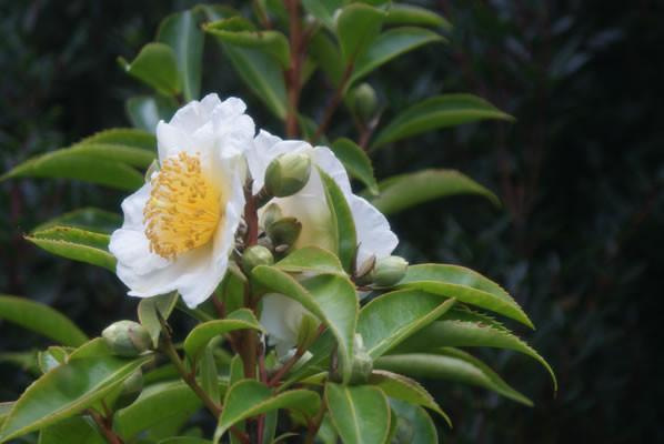 Gordonia longicarpa 2.jpg