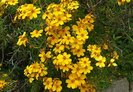 Tagetes Lemmonii 1.jpg