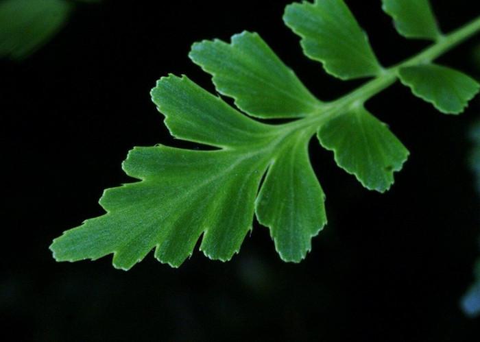 Phyllocladus trichomanoides 2.jpg