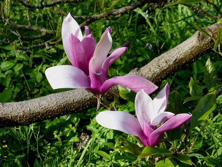 Magnolia liliiflora 4.jpg
