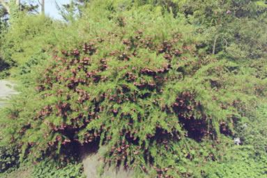 Grevillea spp.4.jpg