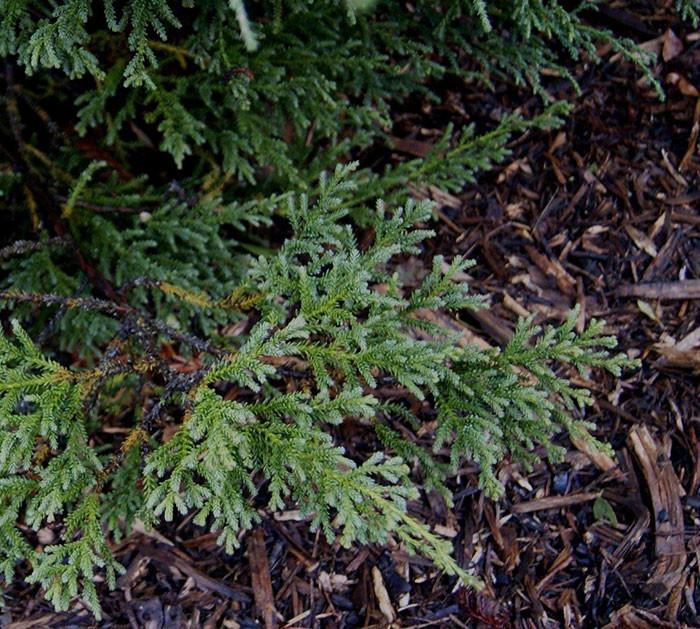 Fitzroya cupressoides 4.jpg