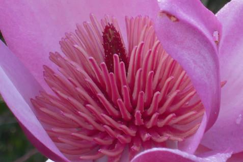 Magnolia campbellii 'Darjeeling' 2.jpg