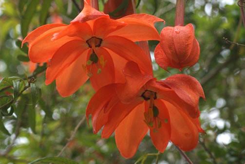 Passiflora parritae 1.jpg