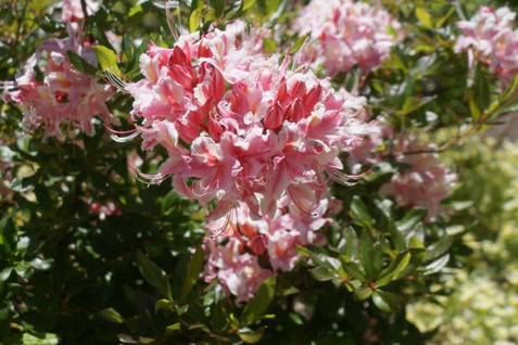 Rhododendron occidentale 2.jpg
