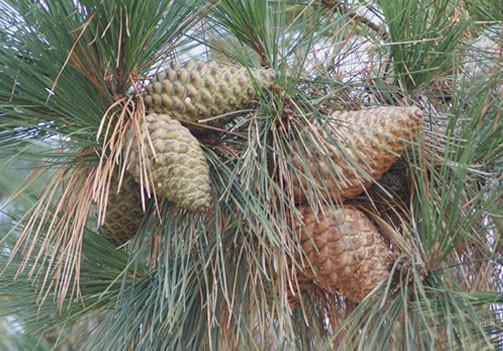 Pinus radiata 1.jpg