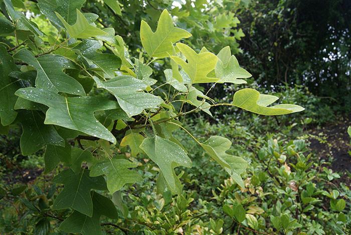 Liriodendron chinense 1.jpg